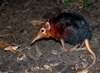: Rhynchocyon petersi; Black And Rufous Giant Elephant-shrew