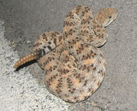 : Crotalus mitchelli; Speckled Rattlesnake