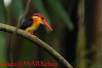 Black-backed Kingfisher (Ceyx erithacus)