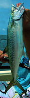 Scomberomorus tritor, West African Spanish mackerel: fisheries