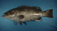 Mycteroperca microlepis, Gag: fisheries, gamefish