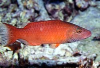 Oxycheilinus digramma, Cheeklined wrasse: fisheries, aquarium