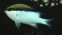 Chromis nitida, Barrier reef chromis: