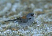 Dark-eyed Junco (Junco hyemalis) photo