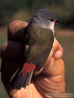 Yellow-bellied Waxbill - Estrilda quartinia