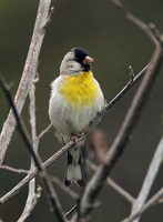 : Carduelis lawrencei; Lawrence's Goldfinch