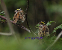 노랑눈썹멧새(yellow-browed bunting)