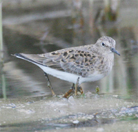 Temminck's Stint
