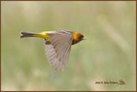 Red-headed Bunting » Emberiza bruniceps