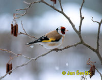 Photo of stehlík obecný, Carduelis carduelis, Goldfinch, Stieglitz.