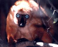 photograph of a blue-eyed lemur