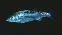Morone saxatilis, Striped bass: fisheries, aquaculture, gamefish