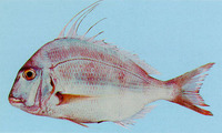 Argyrops filamentosus, Soldierbream: fisheries