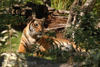 Panthera tigris corbetti - Indochinese Tiger