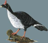 Image of: Oreophasis derbianus (horned guan)
