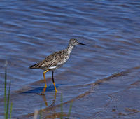 Image of: Tringa flavipes (lesser yellowlegs)