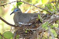 Image of: Zenaida asiatica (white-winged dove)