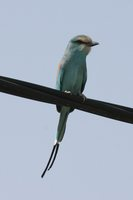 Abyssinian Roller - Coracias abyssinica