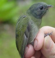 white-crowned manakin, female