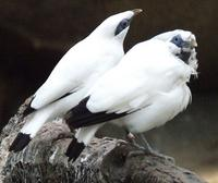The Bali Myna is the only native bird in Bali.