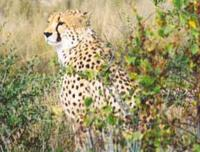 Cheetah are most often seen in grassland, but have adapted well to bushland environments in Nami...