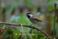 : Poecile rufescens; Chestnut-backed Chickadee