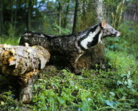 사향고양이 Viverra zibetha Large Indian Civet