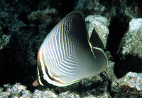 Chaetodon baronessa, Eastern triangular butterflyfish: aquarium