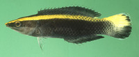 Labroides bicolor, Bicolor cleaner wrasse: aquarium