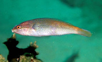 Stethojulis interrupta, Cutribbon wrasse: aquarium