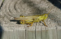 Image of: Melanoplus differentialis (differential grasshopper)
