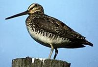Image of: Gallinago gallinago (common snipe)
