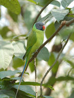Image of: Psittacula finschii (grey-headed parakeet)