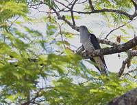 Madagascar Cuckoo (Cuculus rochii) photo