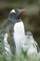 Gentoo Penguin (Pygoscelis papua) photo