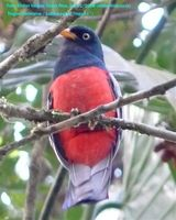 Lattice-tailed Trogon - Trogon clathratus