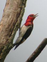 Red-headed Woodpecker - Melanerpes erythrocephalus