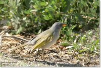 Great Pampa-Finch - Embernagra platensis