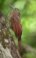 Black-banded woodcreeper in Suriname