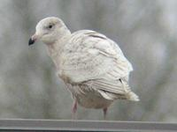 Glaucous Gull. Photo by Greg Gillson