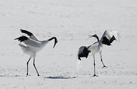 Red Crowned Crane , Grus japonensis , pair displaying together , Hokkaido Island Japan stock pho...