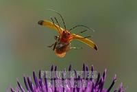 Common red soldier beetle ( Rhagonycha fulva ) stock photo