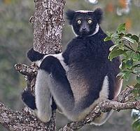 ...(incredibly, everyone of Madagascar's 150 or so species of terrestrial mammals are endemic!) Pet...
