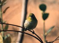 Japanese White-Eye Zosterops japonica 동박새