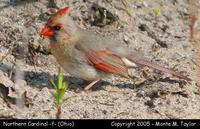 Northern Cardinal (female) - Ohio