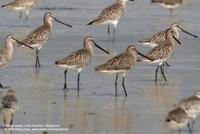 Asian Dowitcher Limnodromus semipalmatus Near-threatened