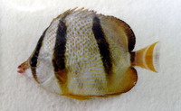 Chaetodon hoefleri, Four-banded butterfly fish: aquarium