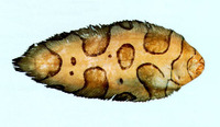 Brachirus annularis, Annular sole: