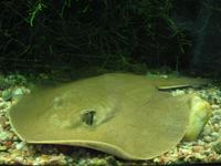 Potamotrygon orbignyi - Anglespot River Stingray