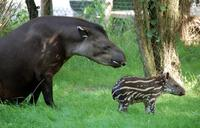 Tapirus terrestris - South American Tapir